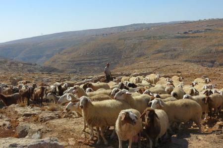 Israele. Pecore al pascolo, con pastore